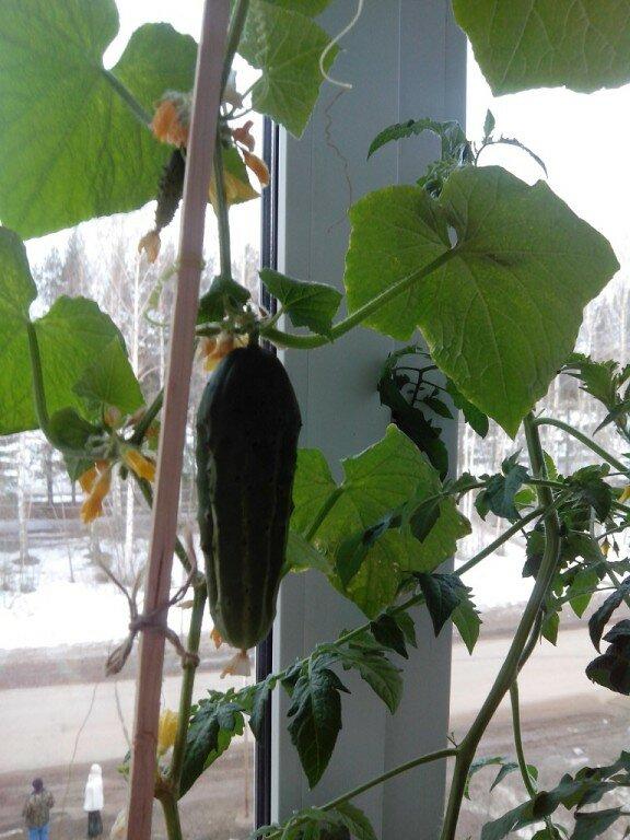 Пришла пора посеять комнатные помидоры - мои любимые сорта результат прошлого года