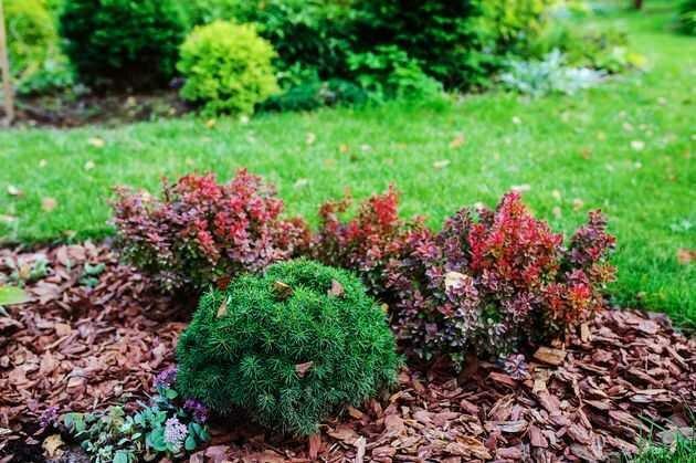Барбарис – незаменимый кустарник для украшения дачи