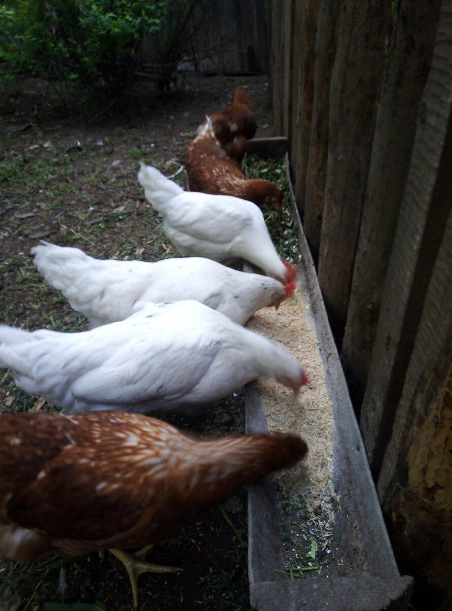 С удивлением узнала, что использованные банные веники - лучшая витаминная добавка для куриц